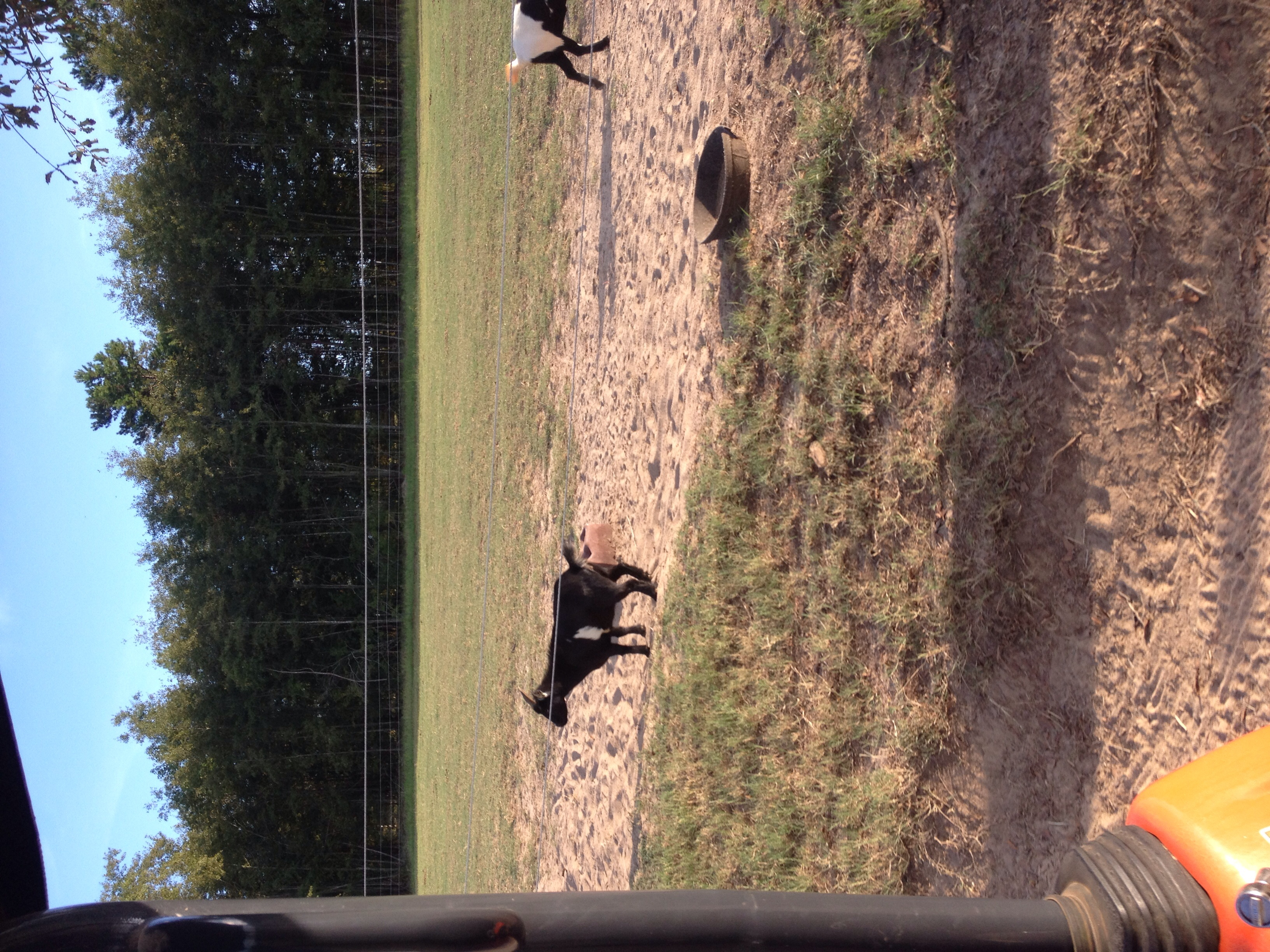 In addition to horses, Royal Palm Farm is home to a small herd of goats that entertain us with their antics.