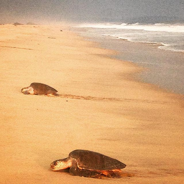 Mama turtles coming to hatch their eggs on the beach at sunset :) #Mexico #Oaxaca #mazunte  #wanderwomenclub #wanderwomen #wander #wanderer #wanderlust #wandering #travel #traveller #travelblog #travelgram #travellife #travelling #travelgram #travelpics #travelporn #travelphoto #travelingram #travelblogger #traveltheworld #travelphotography #backpackerlife #explore #love #instagood