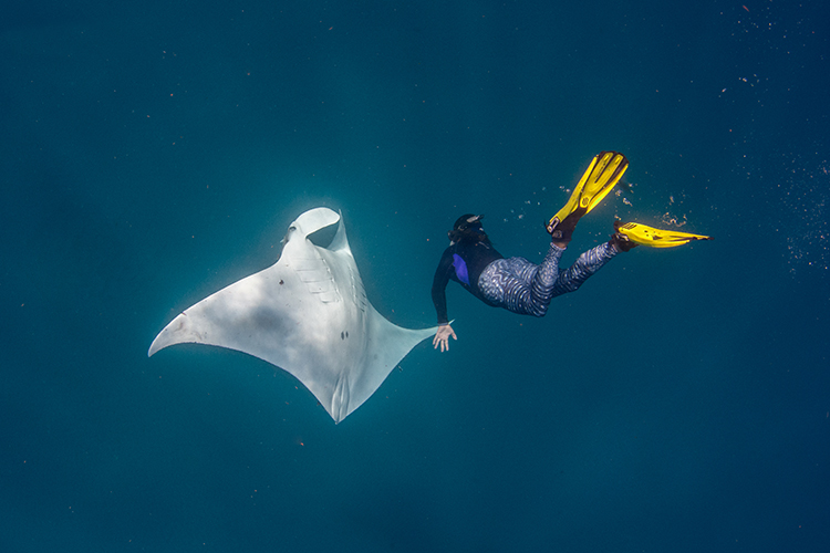 Free diver diving down towards a manta