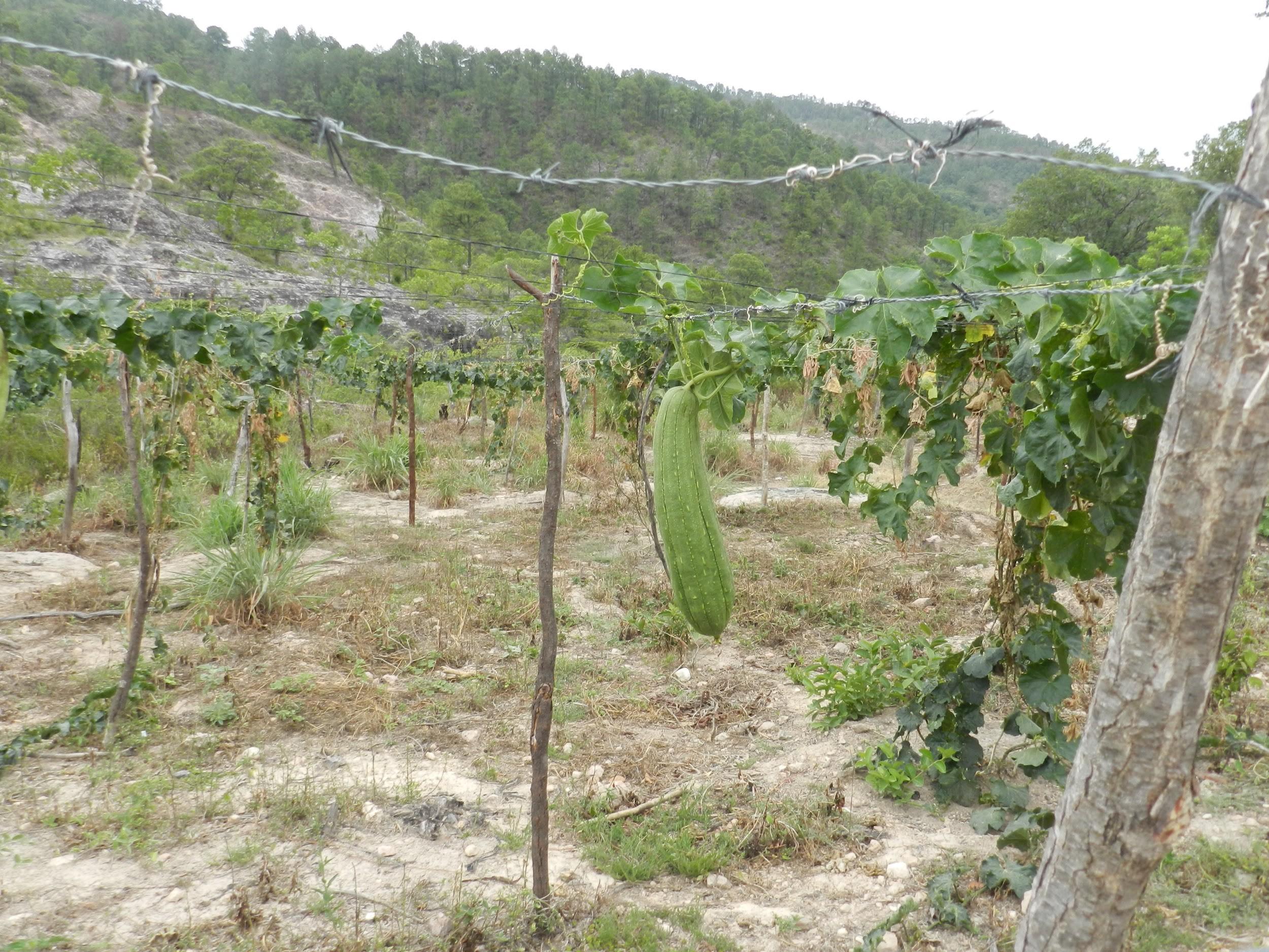 loofah plant.jpg
