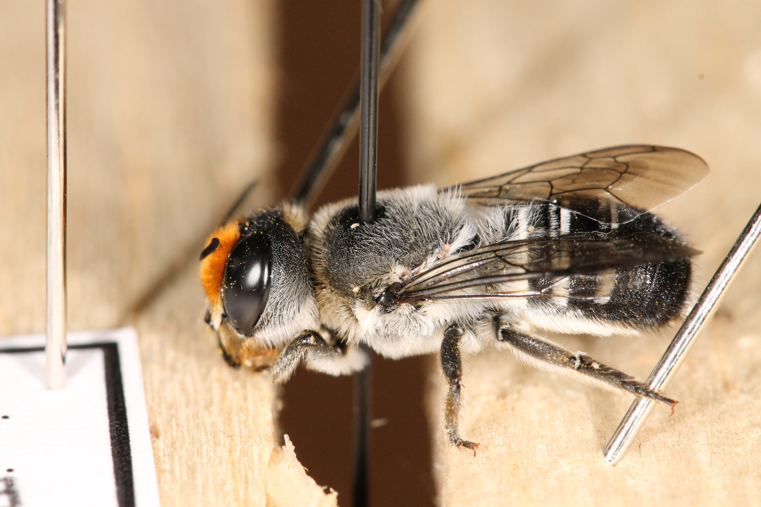 A dead megachilid bee ( Megachile erythropyga ) drying on a pinning rack.