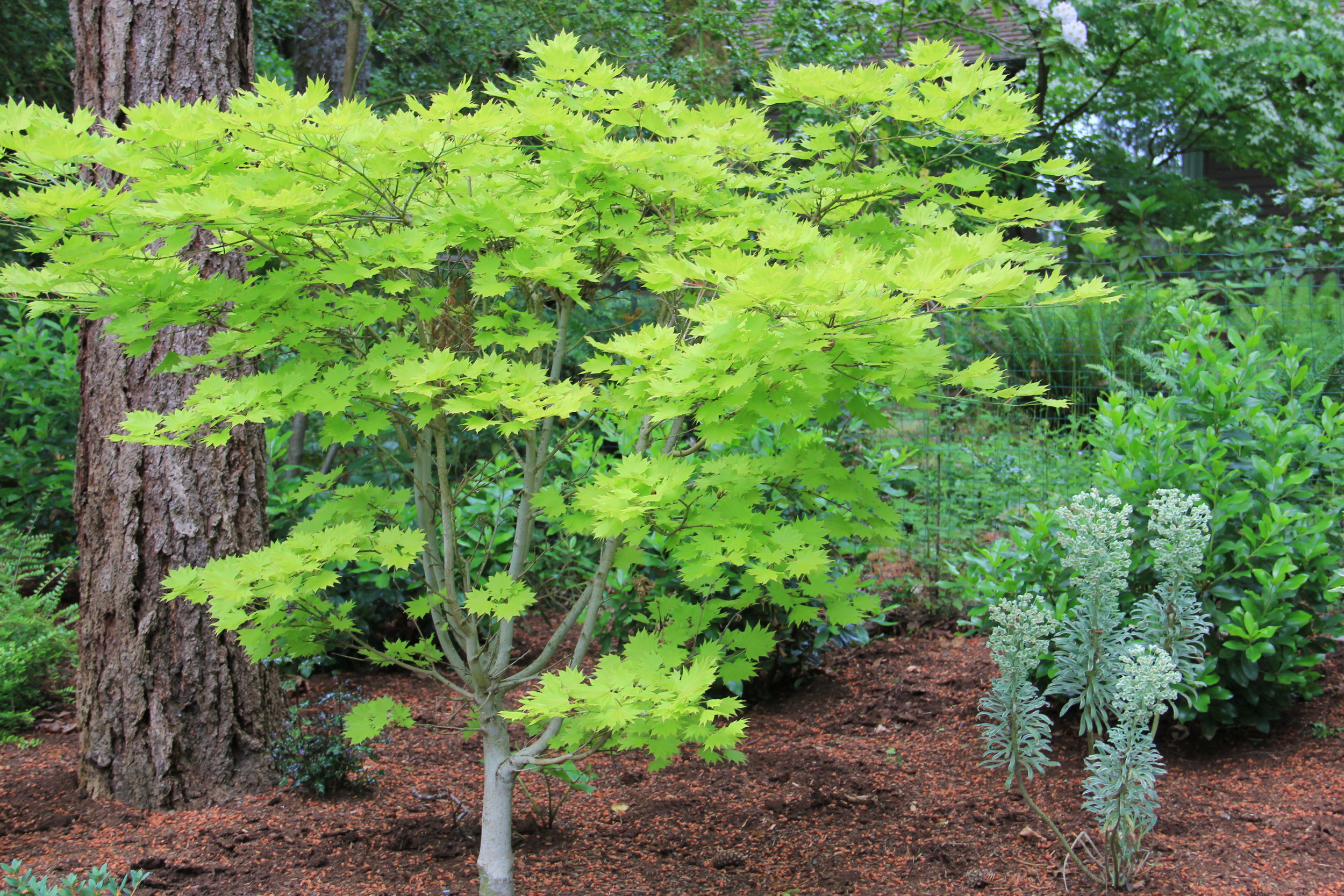 Acer shirwanasanum 'Aureum' glows in the woods