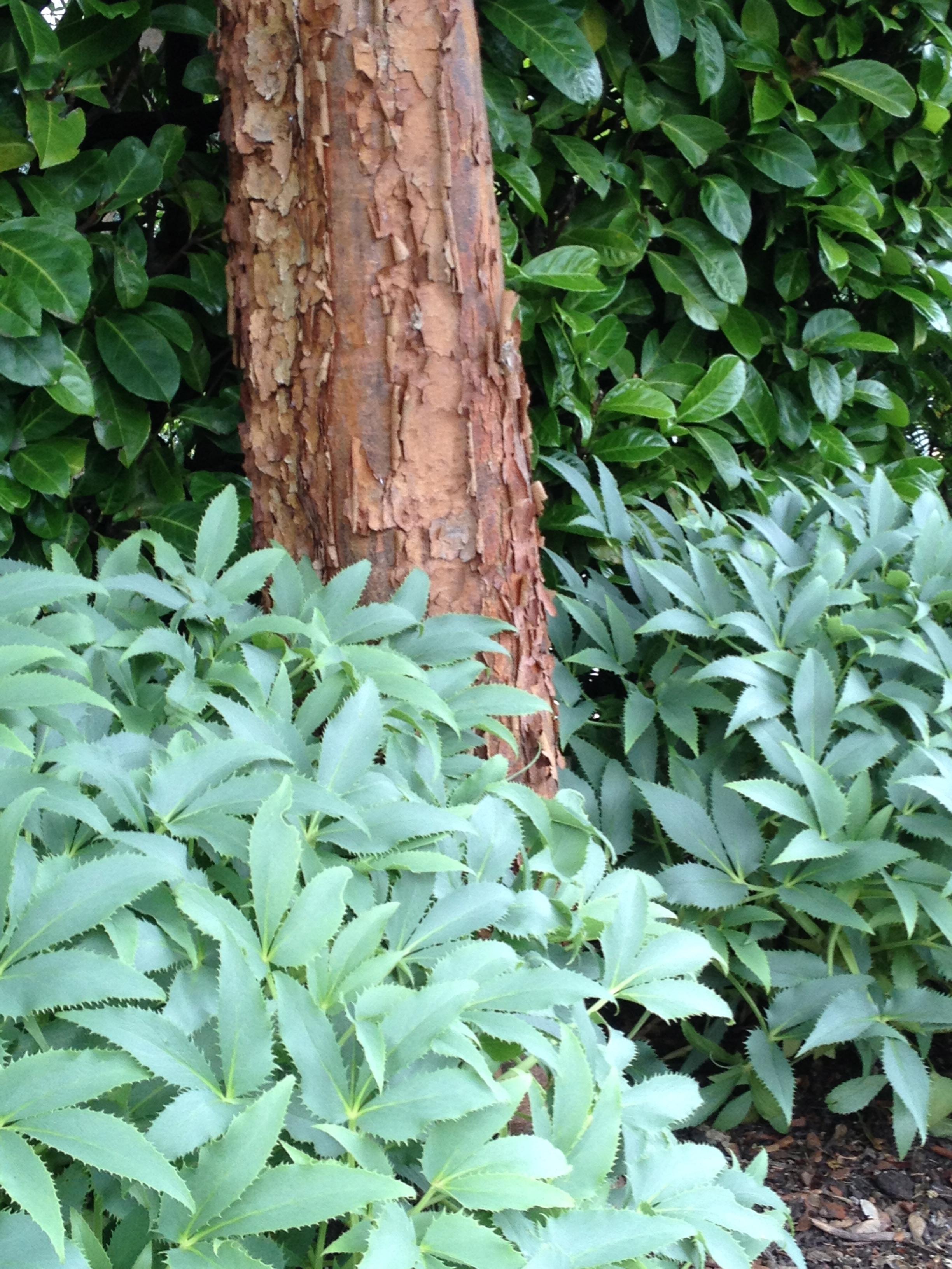 Acer griseum's bark of umber is the perfect contrast to Helleborus argutifolius