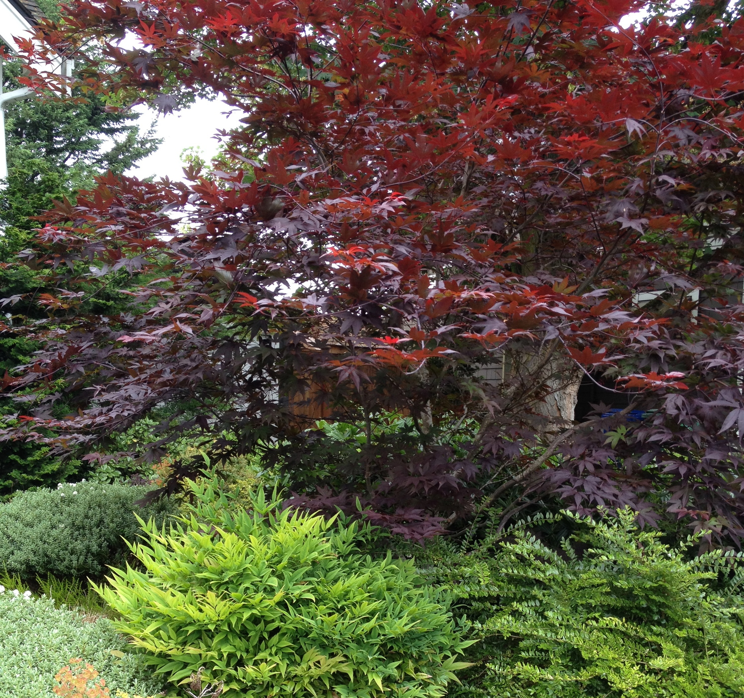 Acer palmatum 'Red Emperor I' is deep burgundy rich and warm.