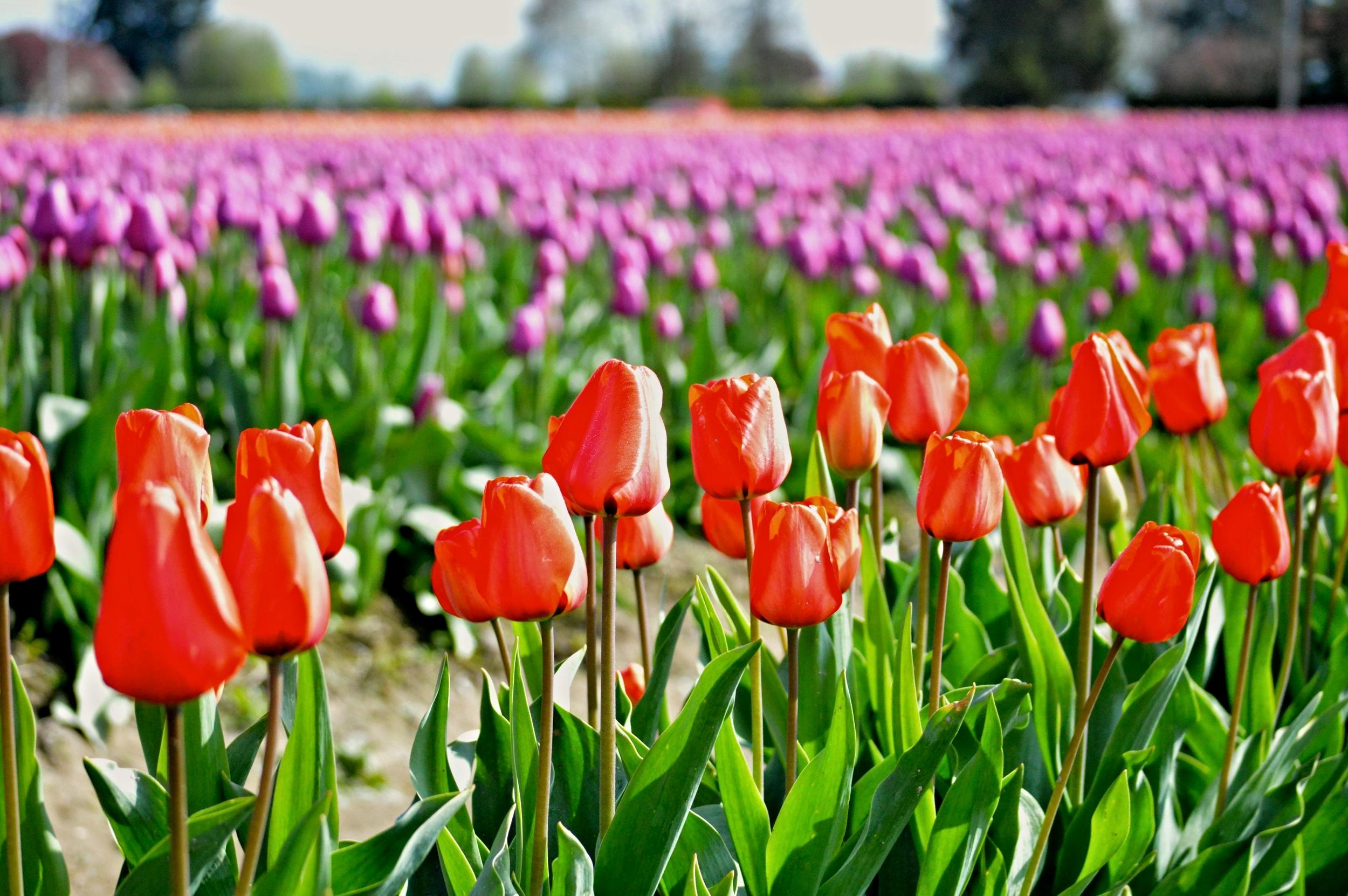 Tulips_Skagit_Festival.jpg