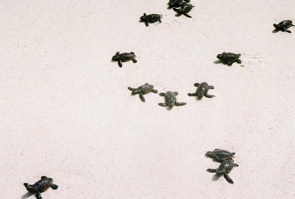Las pequeñas tortugas en su carrera hacia el mar. Foto: Pamy Rojas