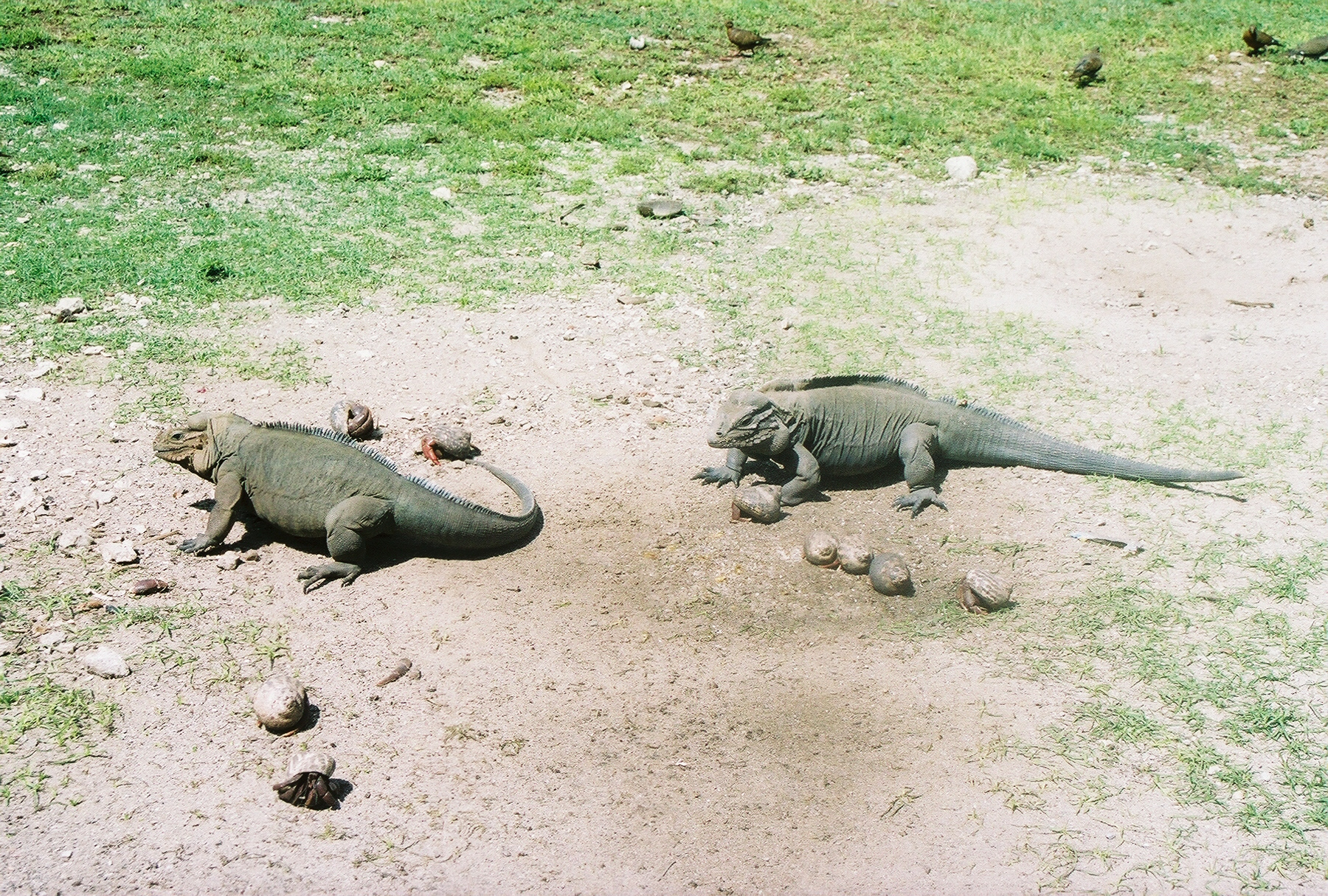The Mona Island iguana can't be found in any other part of the world. Photo: Pamy Rojas
