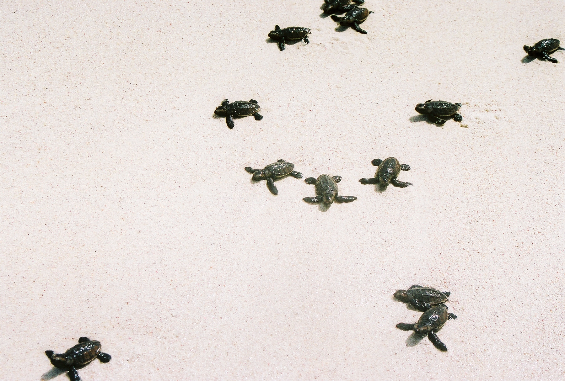 The small turtles in their race towards the sea. Photo: Pamy Rojas