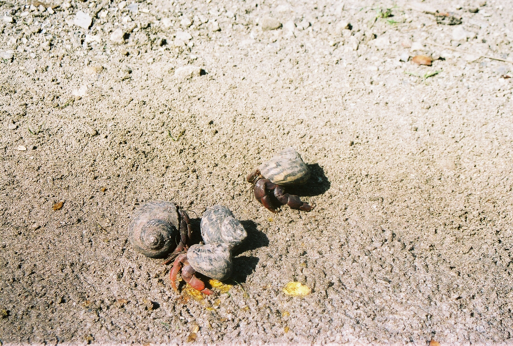 The hermit crabs are simply enormous. Photo: Pamy Rojas