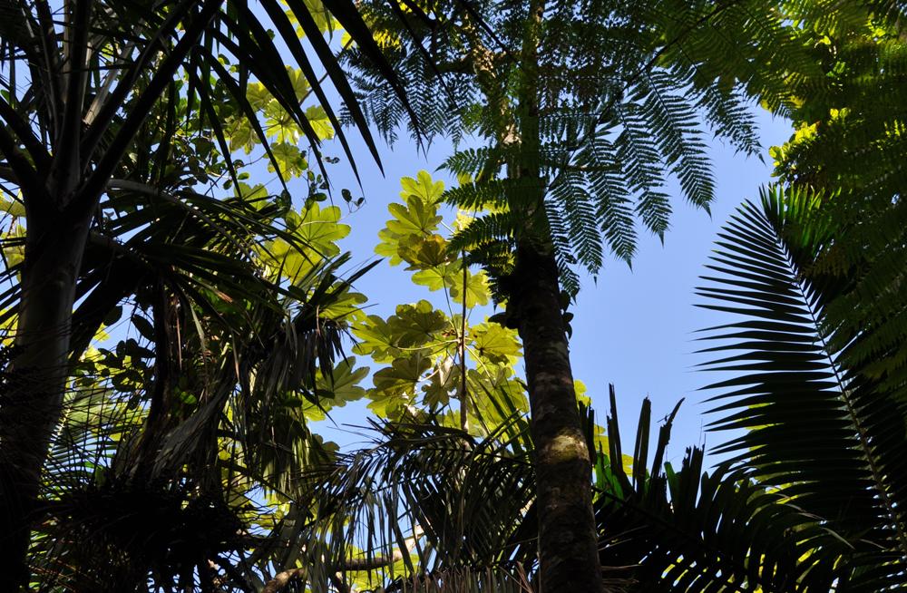 Algunas especies de árboles: yagrumo, helecho gigante y palma de sierra. Foto: Pamy Rojas