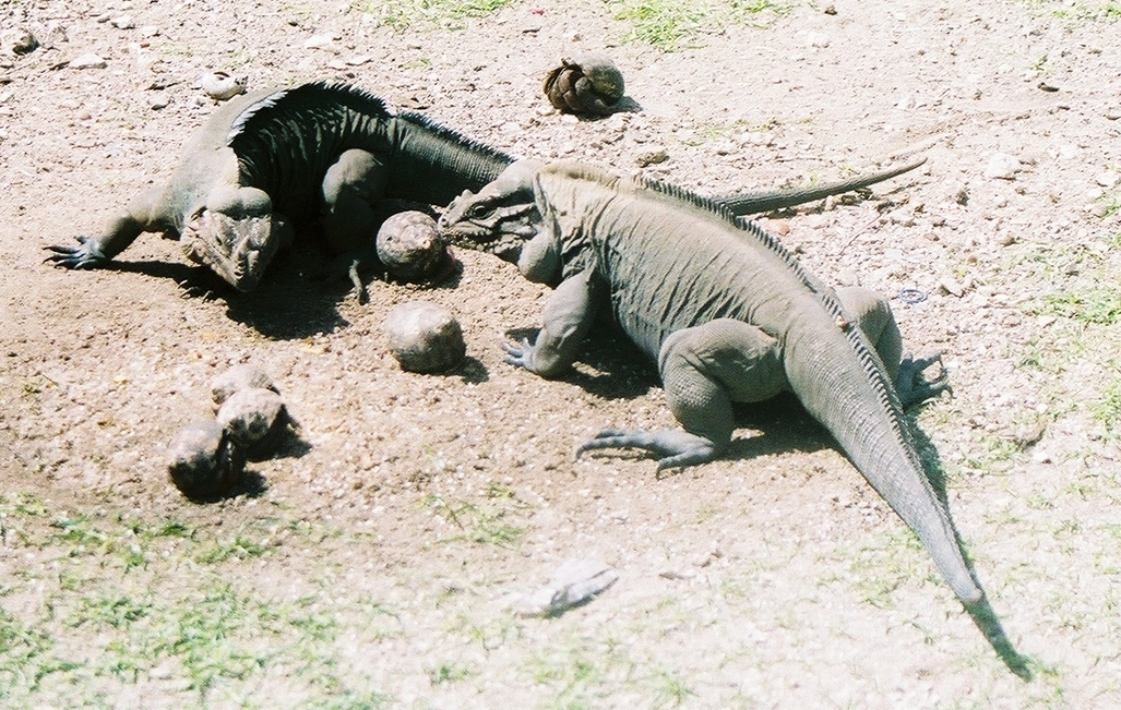 Iguanas and crabs getting along. Photo: Pamy Rojas