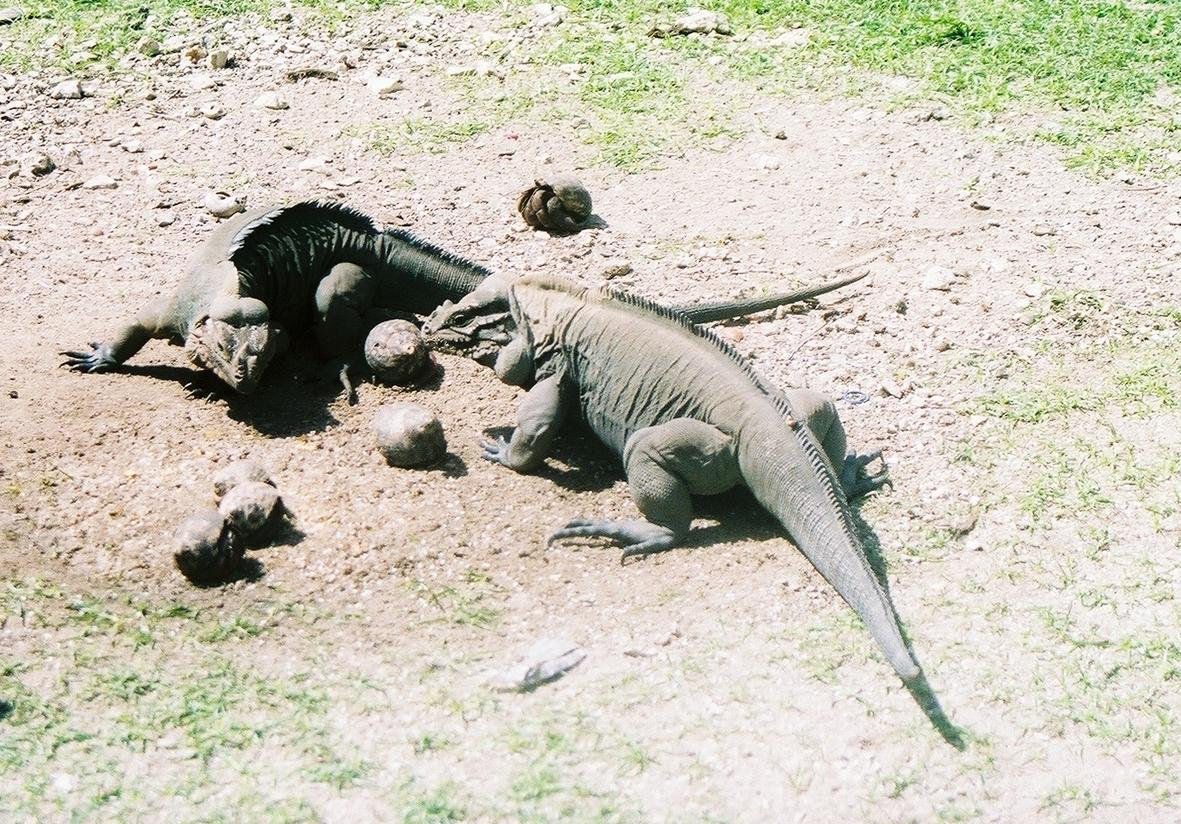 Iguanas y cobos compartiendo. Foto: Pamy Rojas