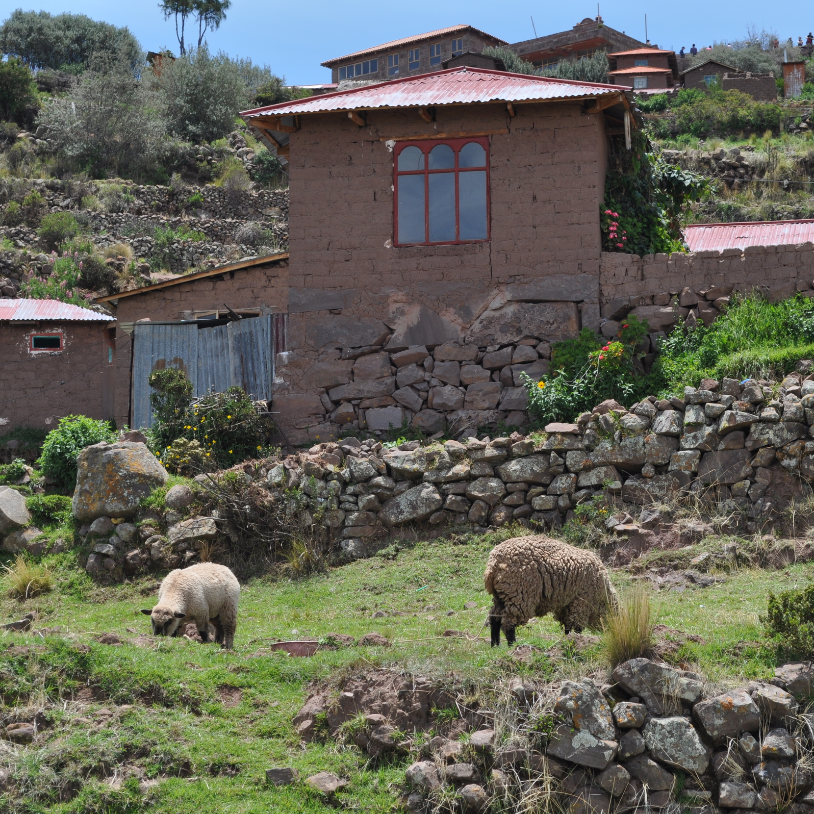 The sheep moved freely around the place. Photo by: Pamy Rojas
