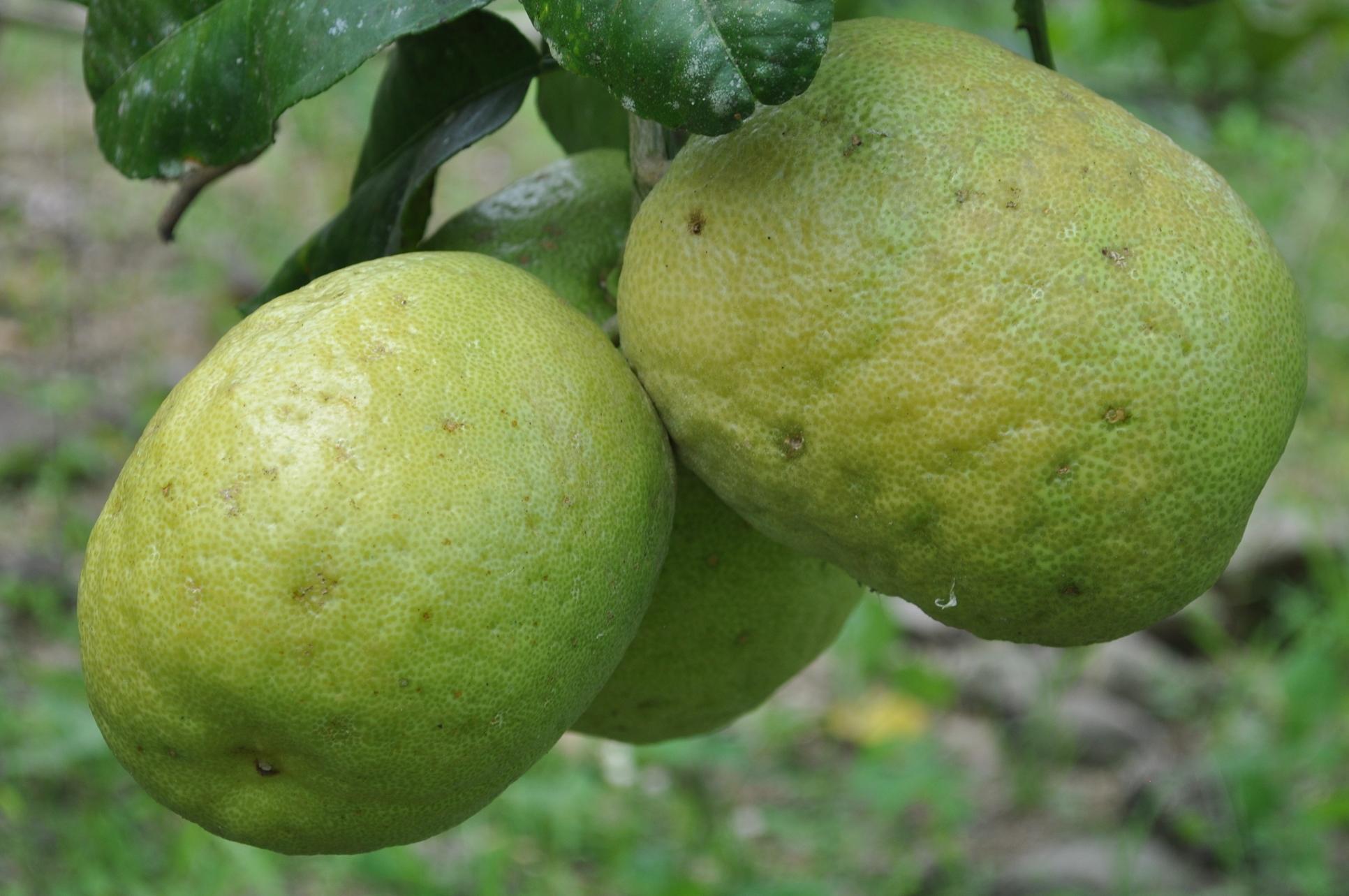 Son limones sí, casi del tamaño de una toronja. Foto: Pamy Rojas