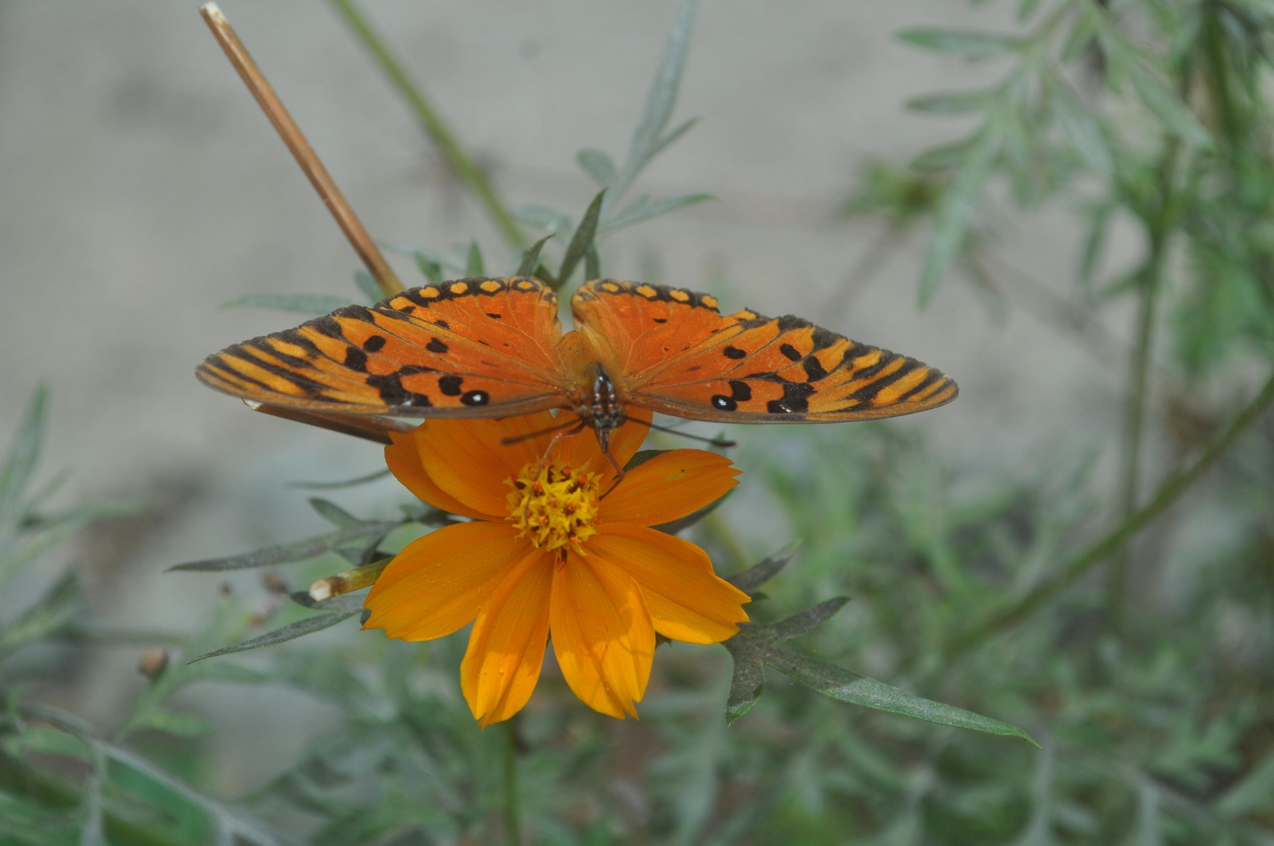 El mariposario de Casa Pueblo en  Adjuntas  es todo un espectáculo natural. Aprendimos sobre la mariposa y su relación con la parcha, las plantas hospederas y el proceso de la oruga. Foto: Pamy Rojas