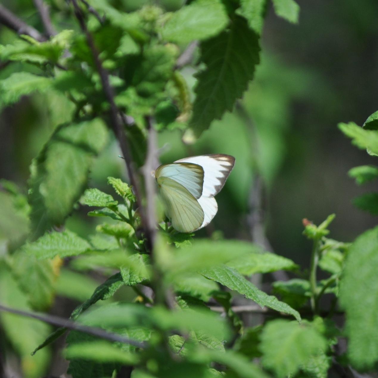 Las mariposas son importante para el ecosistema y la polinización. Foto: Pamy Rojas