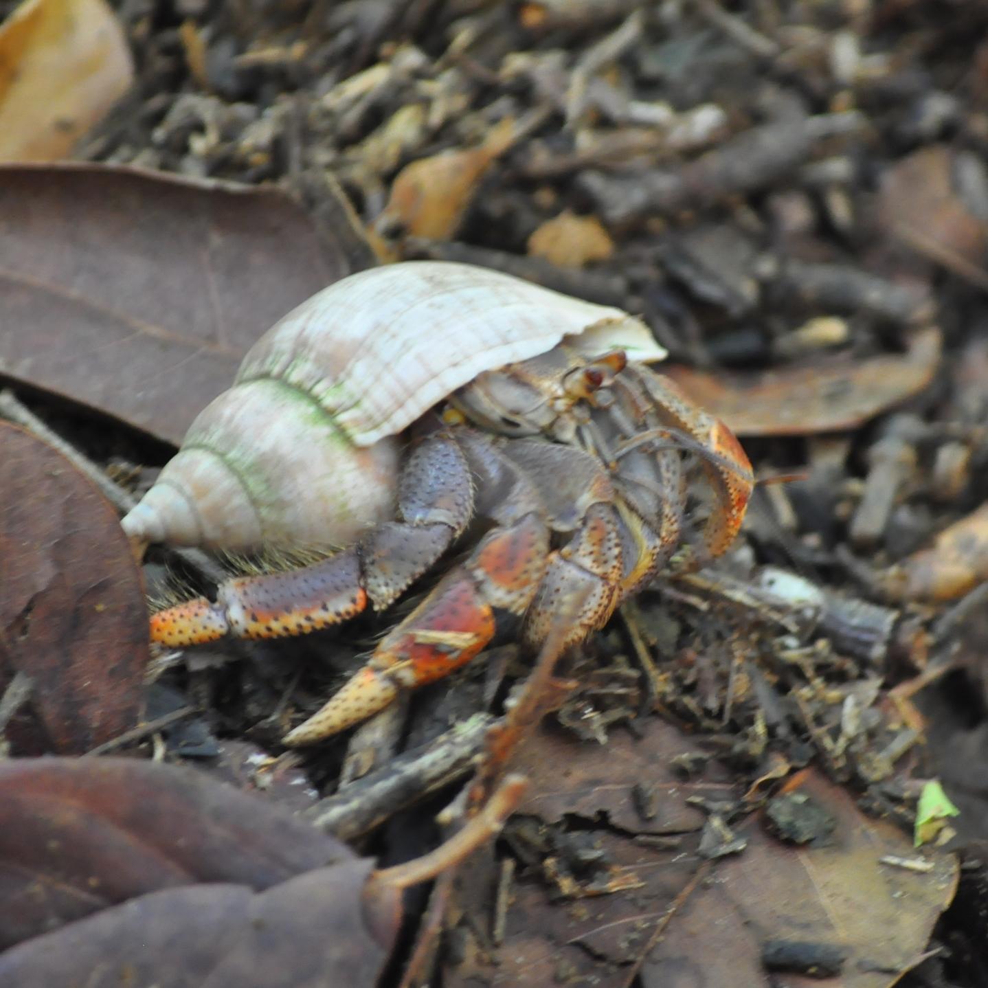 Un cangrejo hermitaño pasó frente a nosotros y Ray aprovechó para explicarnos la importancia de dejar el caracol vacío para que otro cobito lo encuentre. Foto: Pamy Rojas