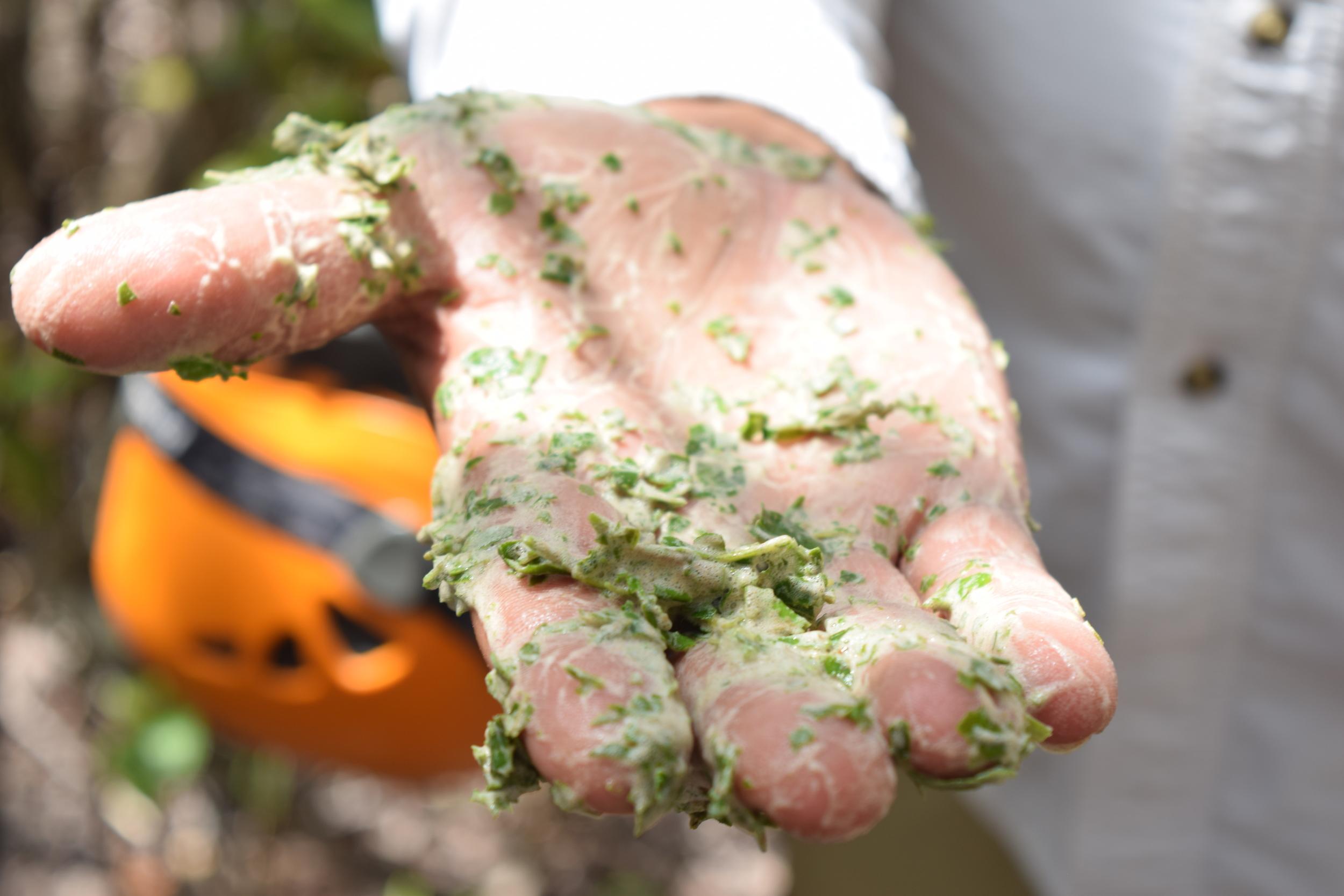 Por el trayecto también encontramos un árbol de avelluelo. Con un poco de agua, Ray hizo una demostración de cómo hacer jabón. Foto: Alejandro Rodz. Rojas