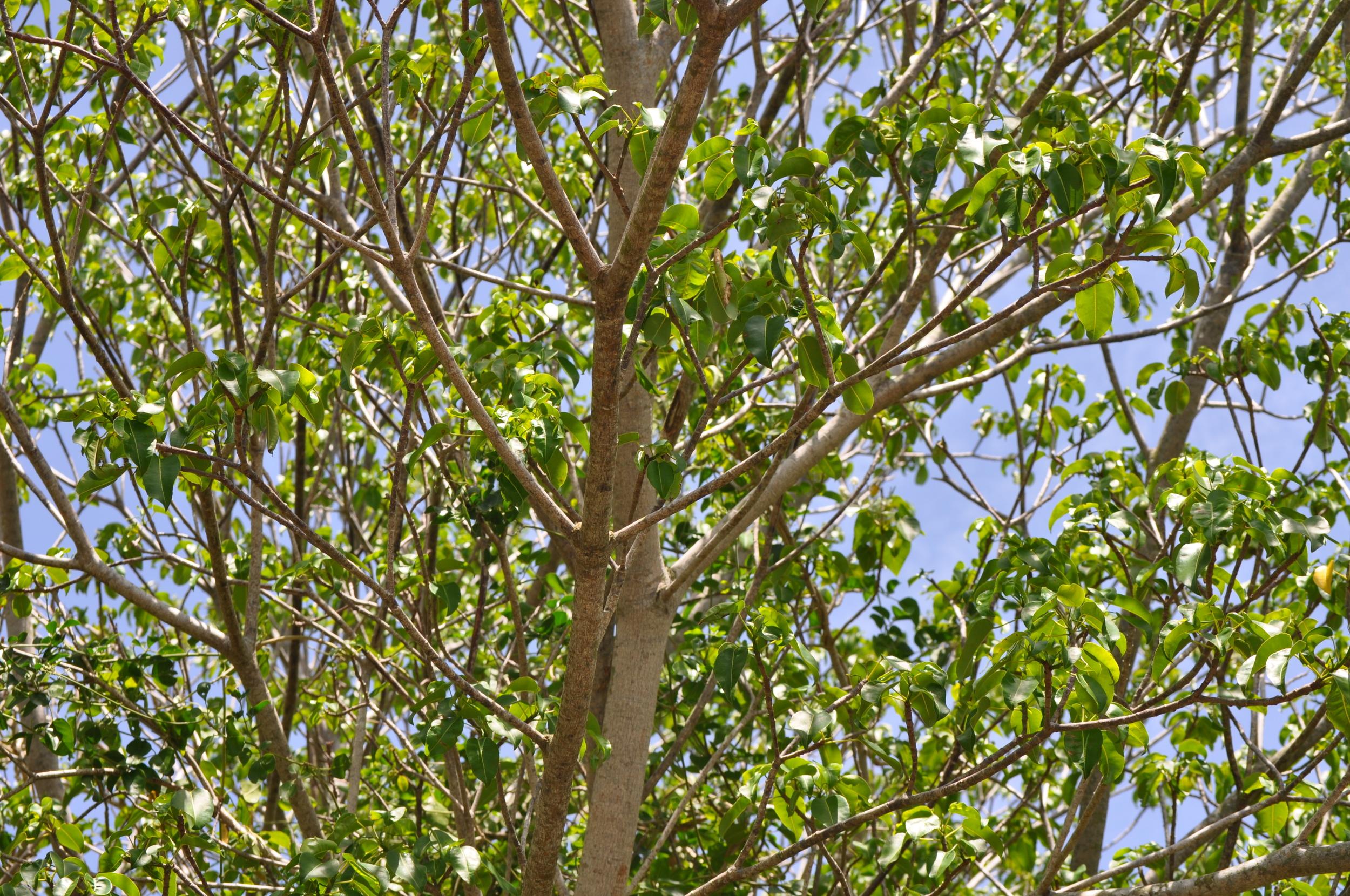Otra razón más por la que se debe visitar el lugar con un intérprete, hay que saber identificar el árbol de manzanilla y mantenerse alejado. Foto: Pamy Rojas