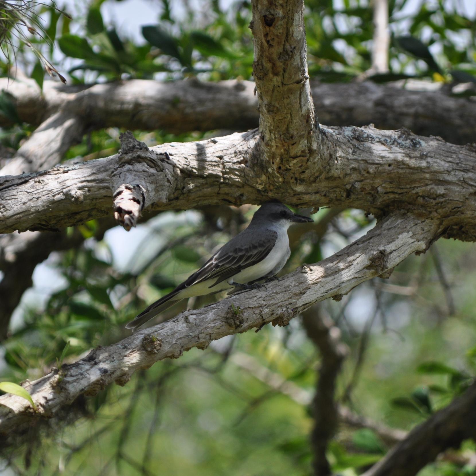 El pitirre es un ave sumamente territorial, también se le reconoce por su canto mañanero. Foto: Pamy Rojas