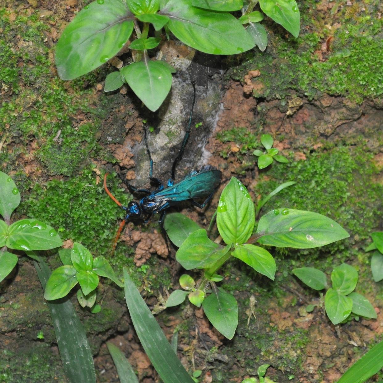 Por la vereda que nos llevó hasta Charco Azul encontramos una avispa Pepsis (tarantula hawk); un tipo de avispa araña que caza tarántulas. Foto: Pamy Rojas