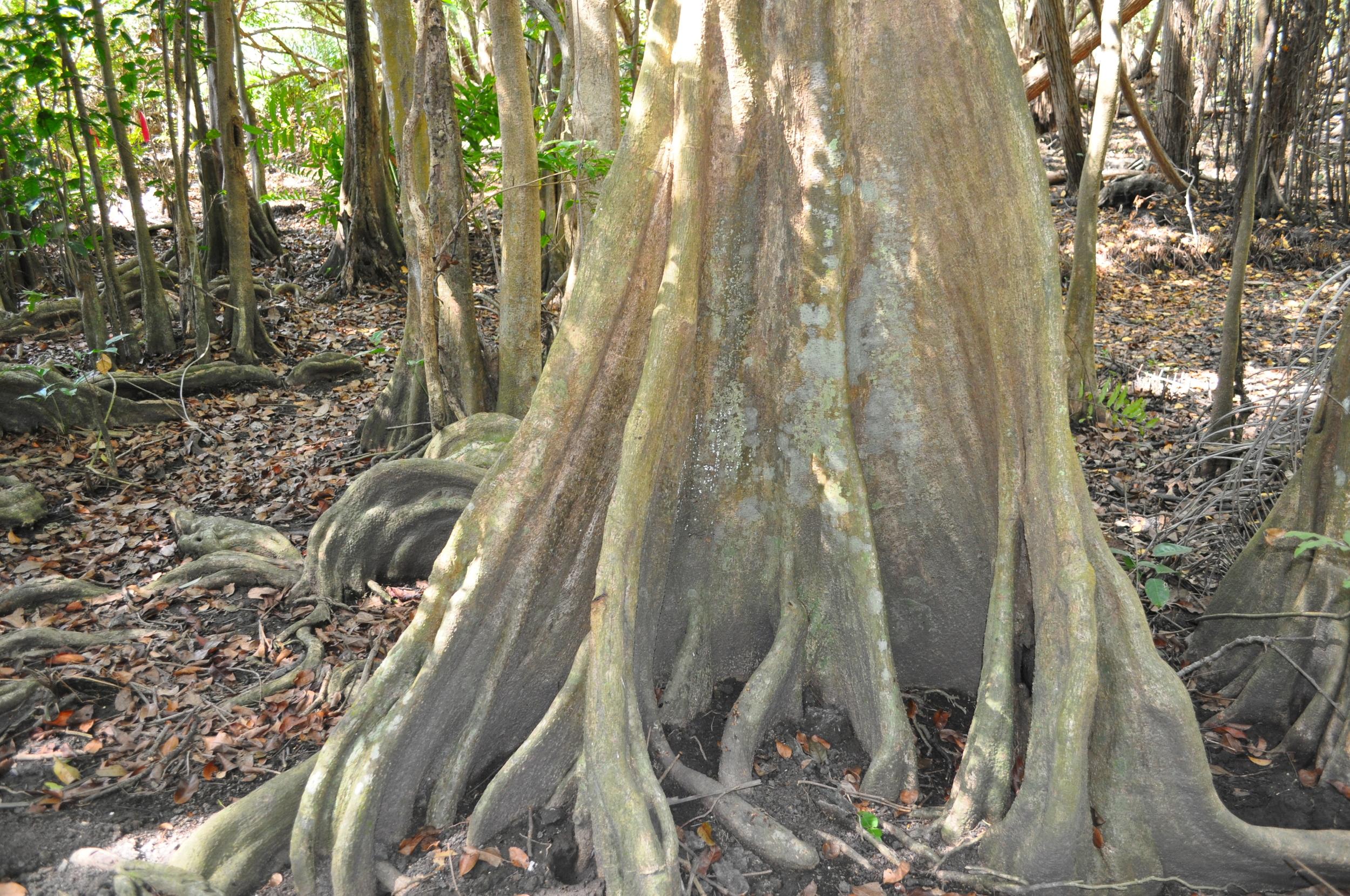 Para llegar a este bosque   de Punta Viento hay que seguir un camino vecinal que se encuentra por el sector El Bajo en la carretera #3. El bosque de Pterocarpus officinalis (Palo de pollo) es el único de este tipo en la zona sur de  Puerto Rico . Foto: Pamy Rojas