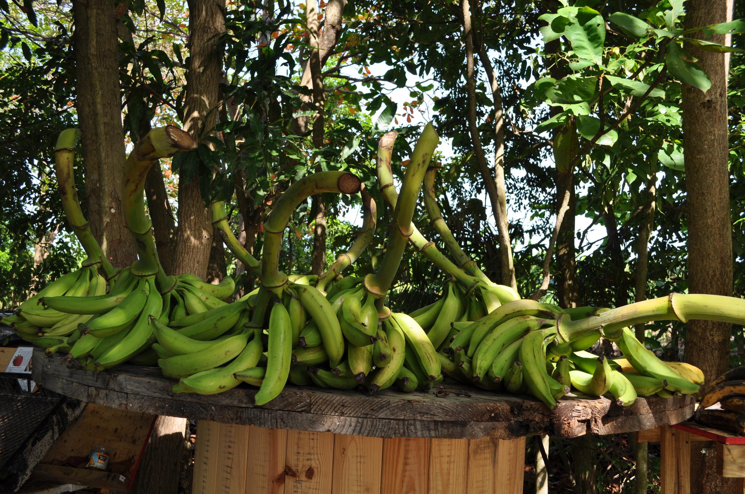 """En el puesto de viandas le compramos a don Carlos algunas papayas y plátanos. Nos contó que la siembra en su finca de cincuenta cuerdas se inunda cuando el río crece; pero a él no le preocupa porque según declara: """"  esa agua nutre la cosecha.""""Foto: Pamy Rojas"""