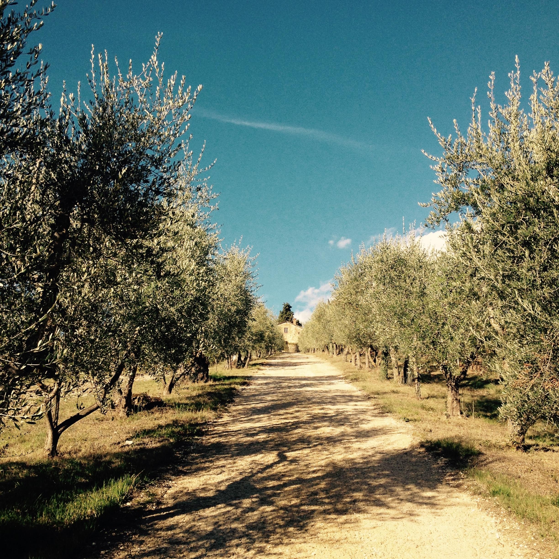 Árboles de olivas engalanan la entrada de nuestro agriturismo. Foto: Marco Dettling