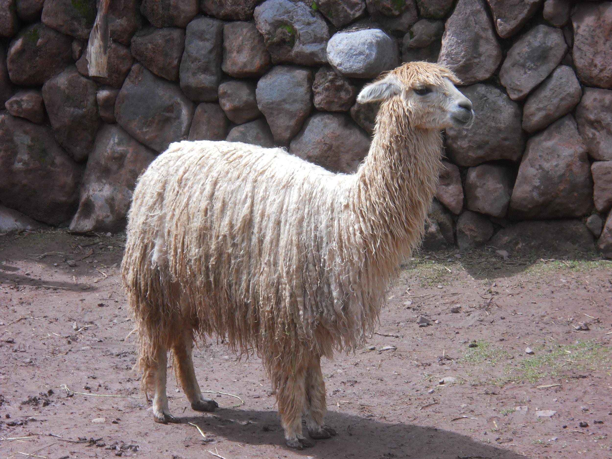 En las alpacas, las fibras más valiosas se obtienen cuando el camélido tiene de tres a seis años de edad. Foto: Fernando J. Rojas