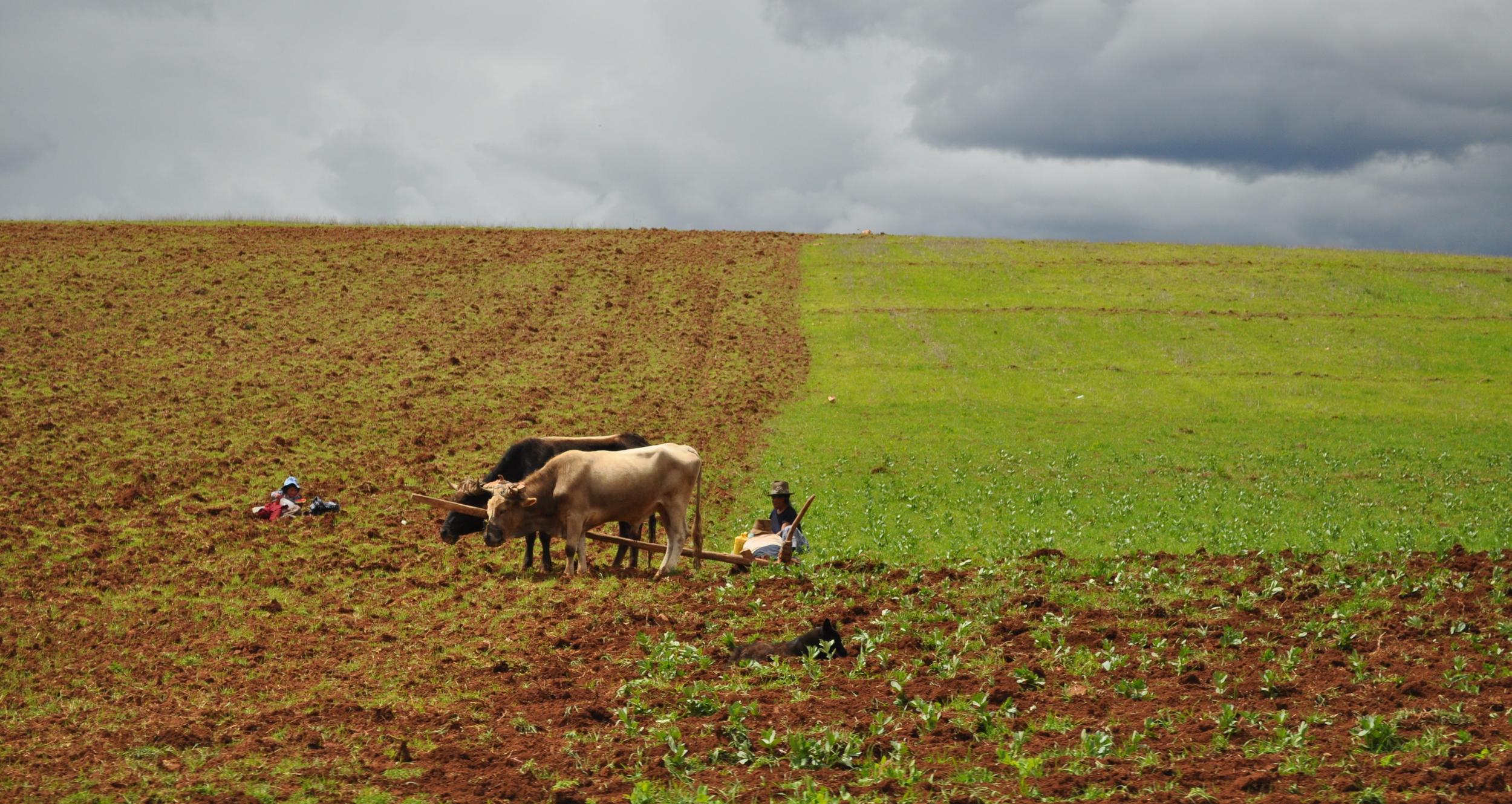 En la región se siembra y se cosecha artesanalmente. Foto: Pamy Rojas