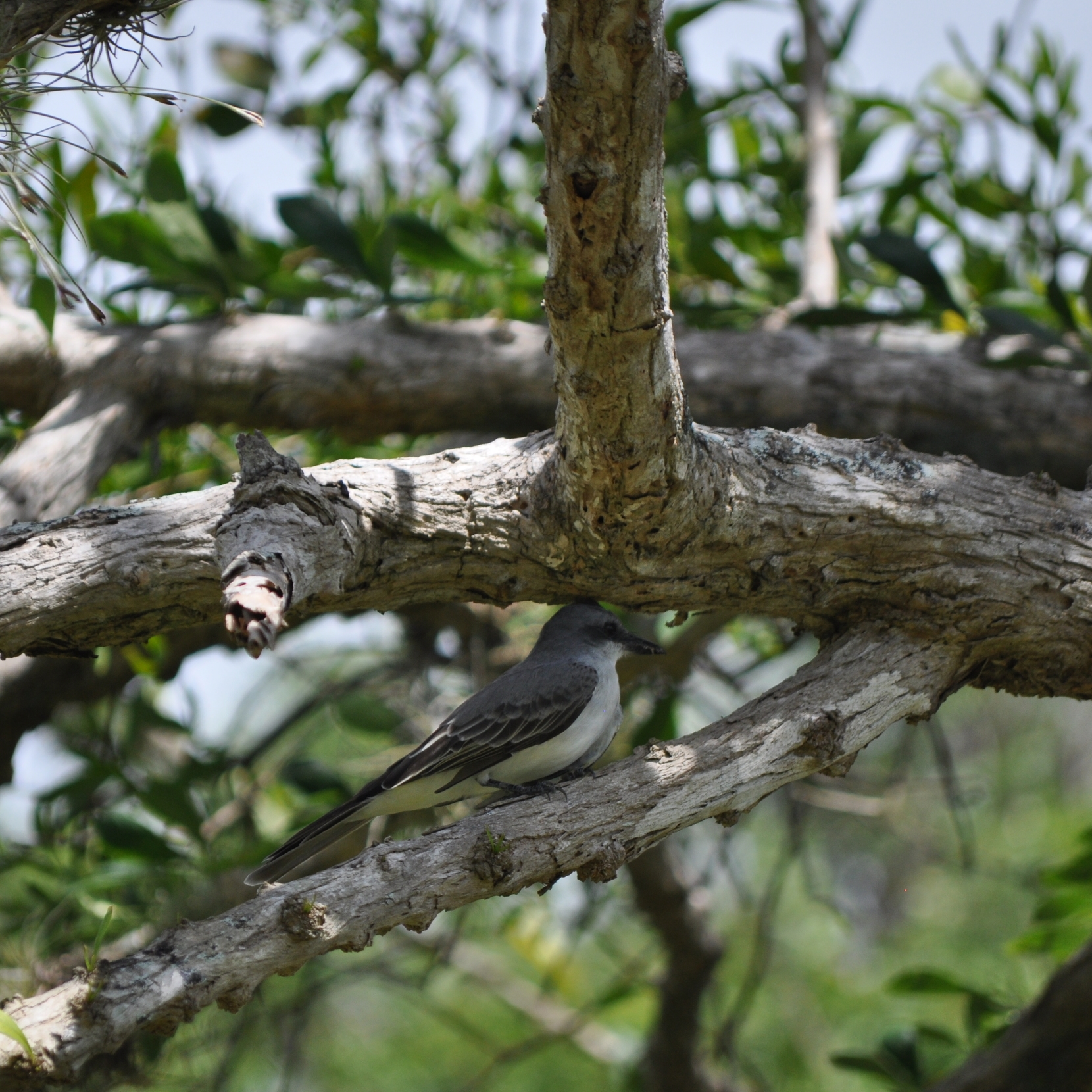 The Gray Kingbird is an extremely territorial bird, it is also known for its morning melody. Photo: Pamy Rojas