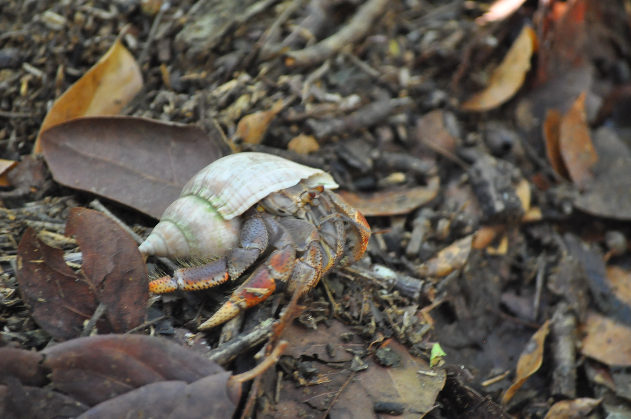 A hermit crab passed in front of us and Ray seized the opportunity to explain why leaving an empty shell is important: other hermit crabs can use it. Photo: Pamy Rojas