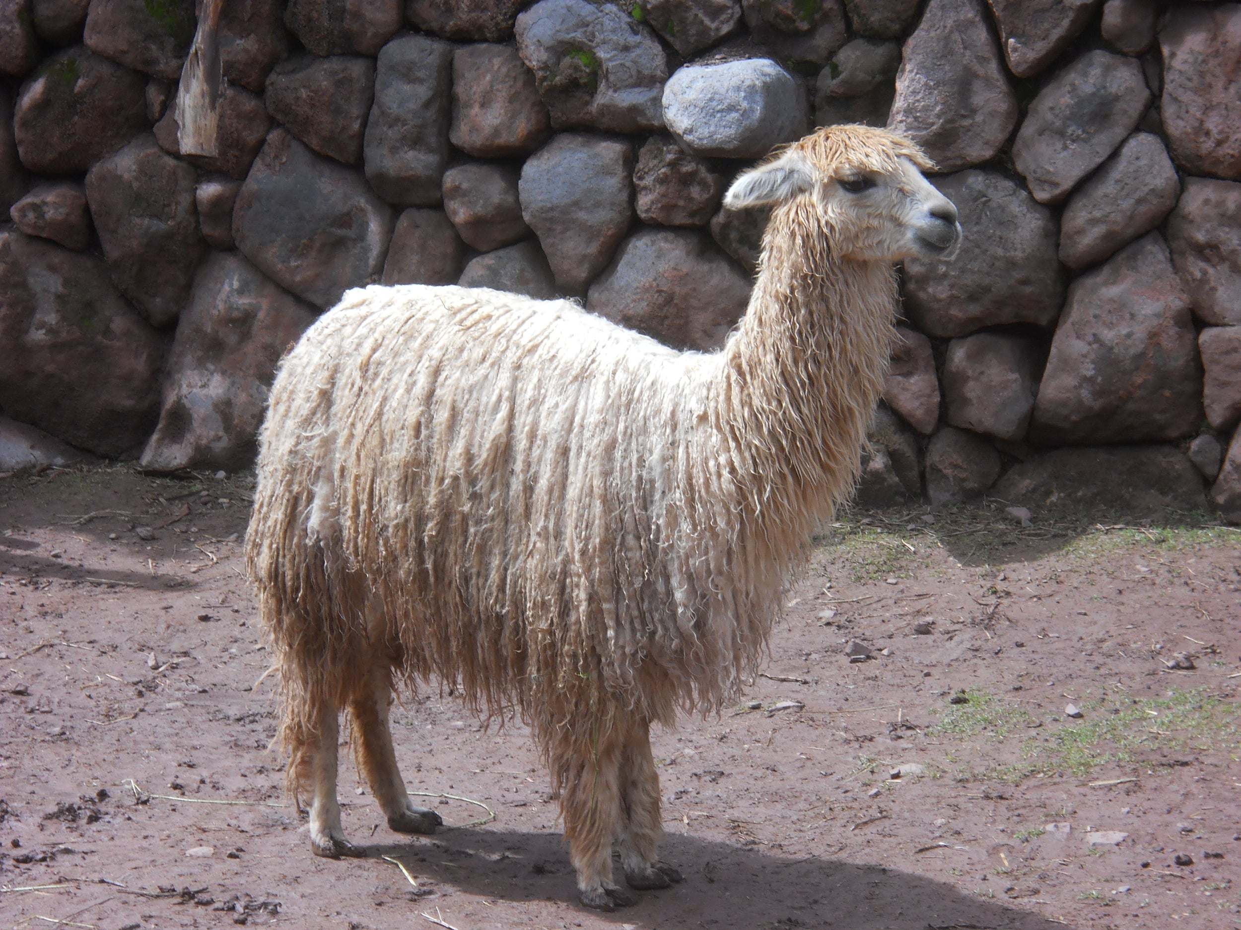 The most valuable threads of the alpacas are obtained when the camelid is between the ages three and six years of age. Photo: Fernando J. Rojas