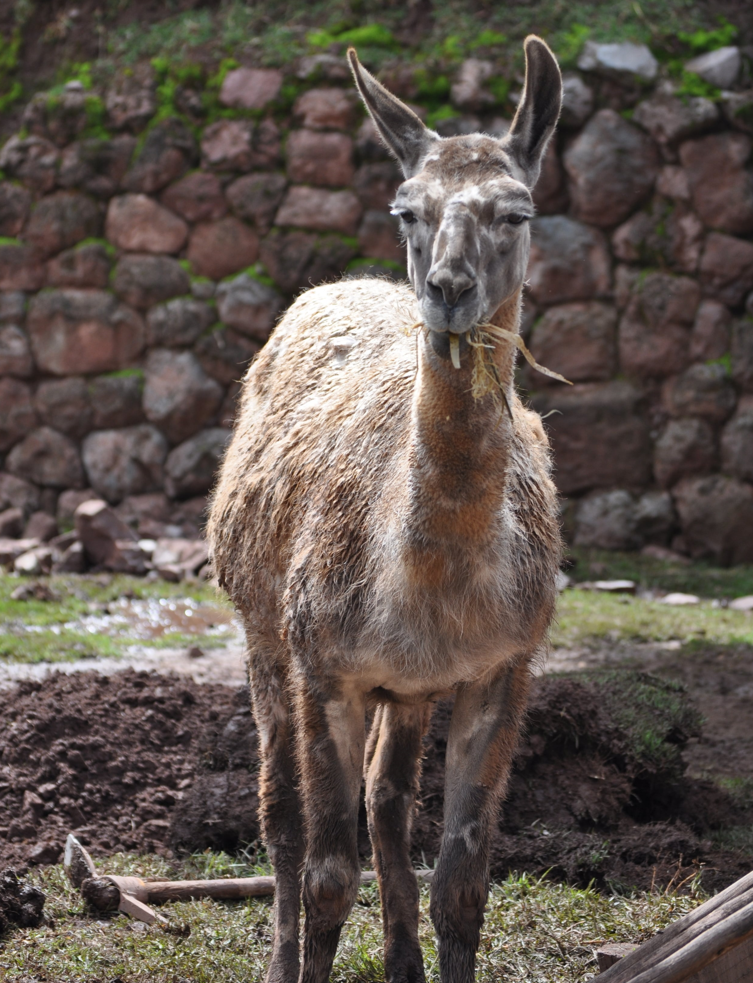 The llama is the most popular and strongest Andean camelid. Photo: Pamy Rojas