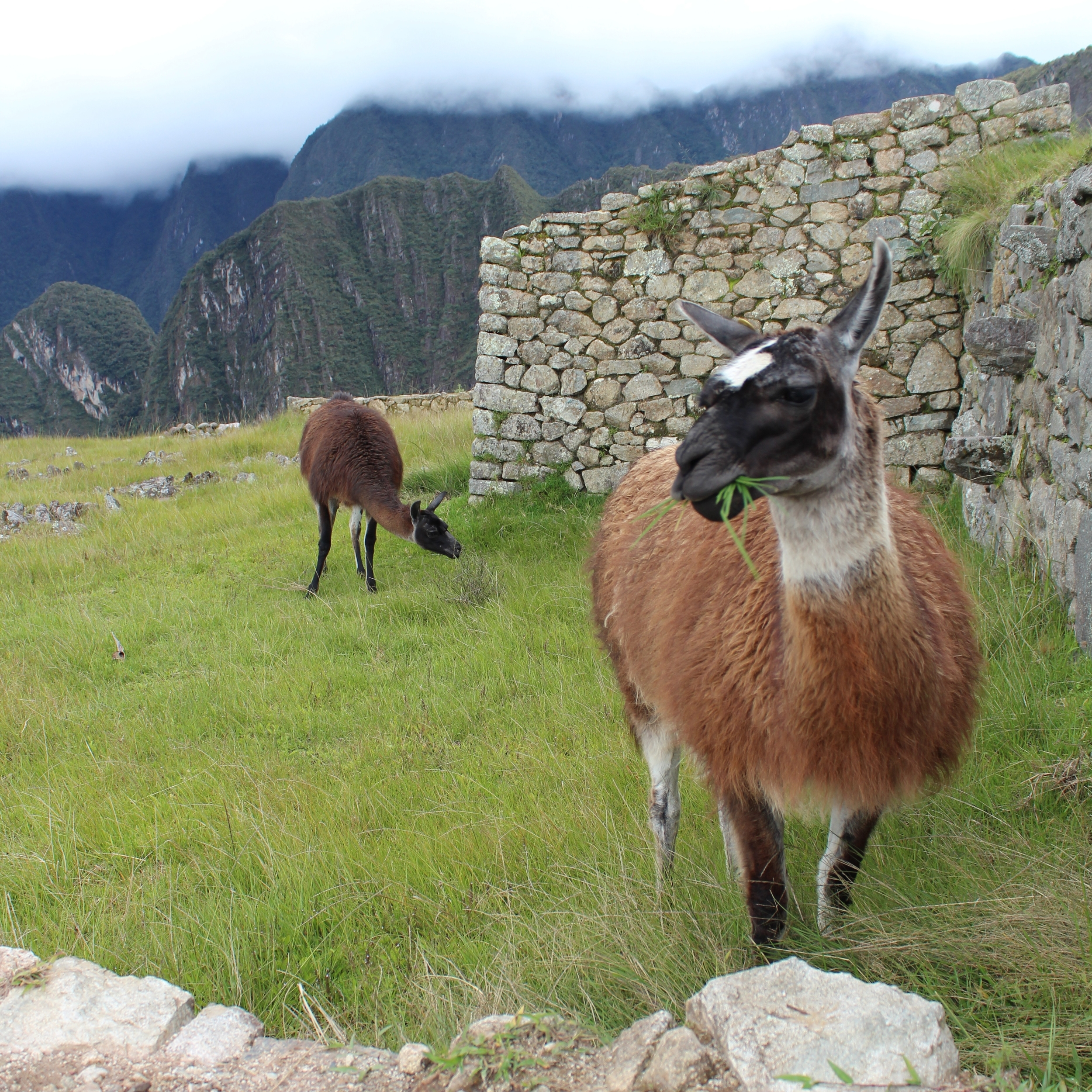 The Andean camelids live in the high altitude of the mountains. Photo: Javier Vélez Arocho