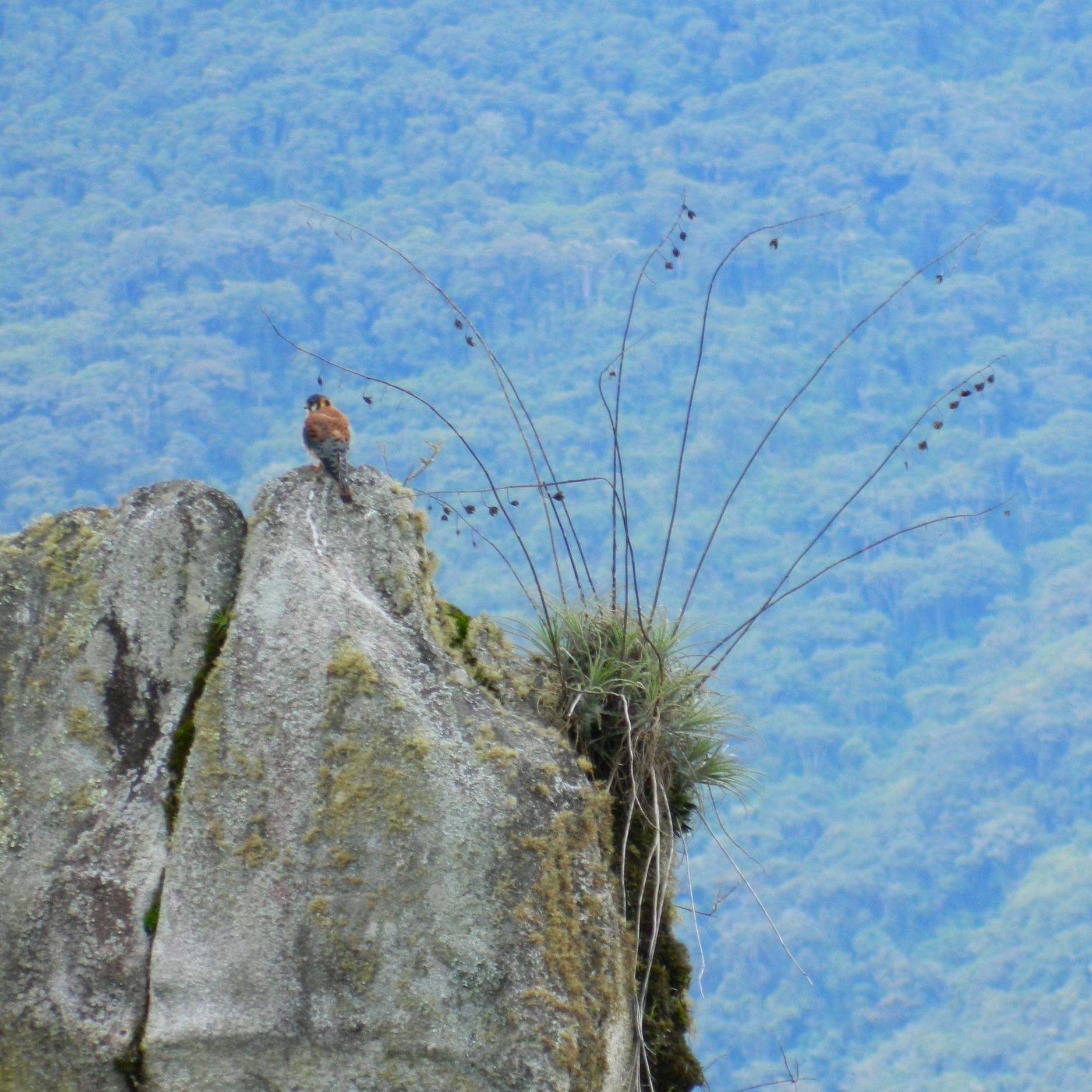 Un joven falcón posando para nuestro lente. Foto: Alejandro Rodz. Rojas