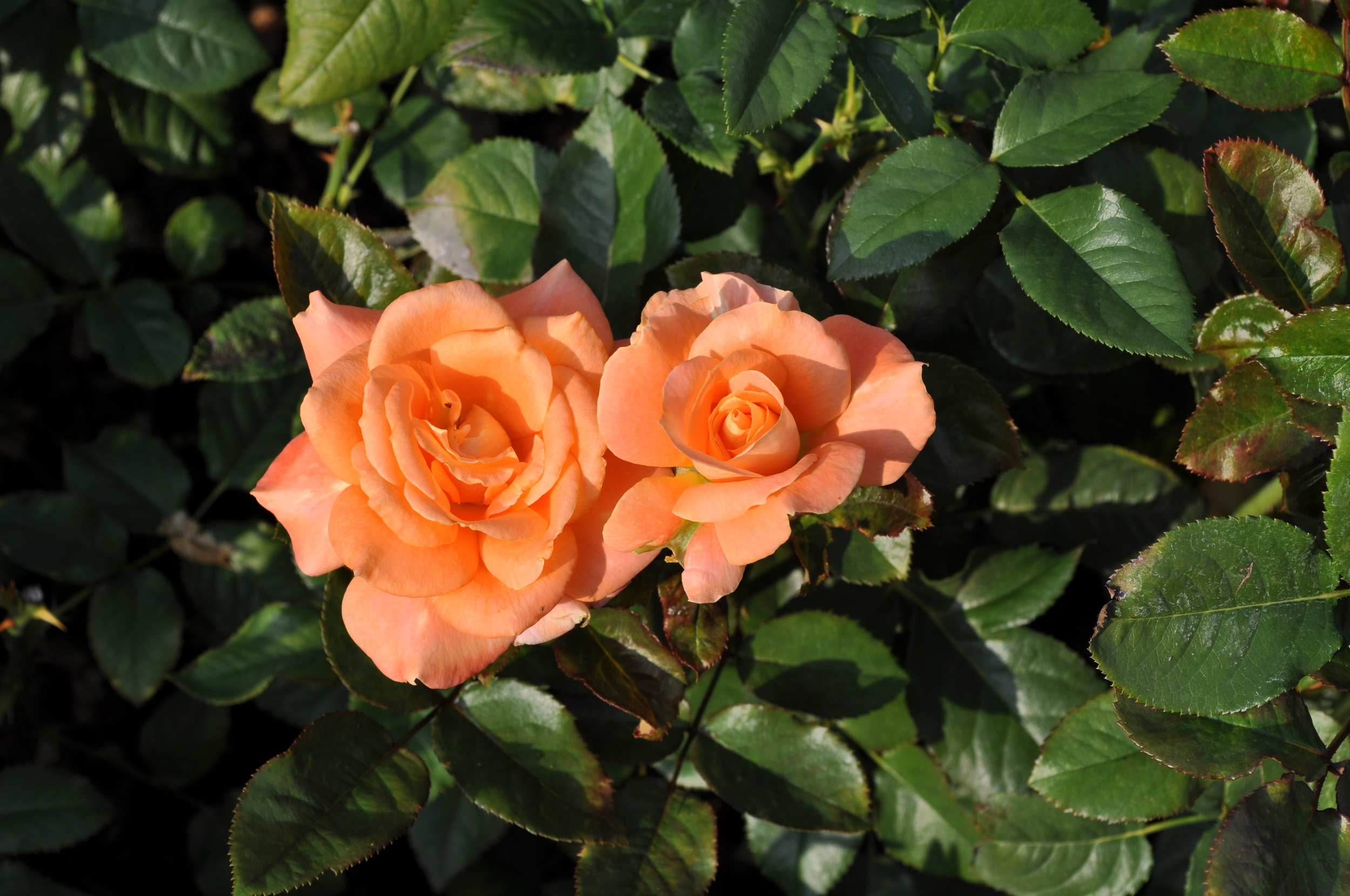 The Rose Garden has more than two hundred varieties of roses, among other flowers and bushes. Photo: Pamy Rojas