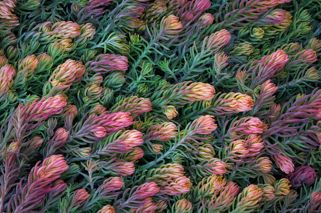 Winter pastels - a small, colorful plant in the middle of winter at the Denver Botanic Gardens