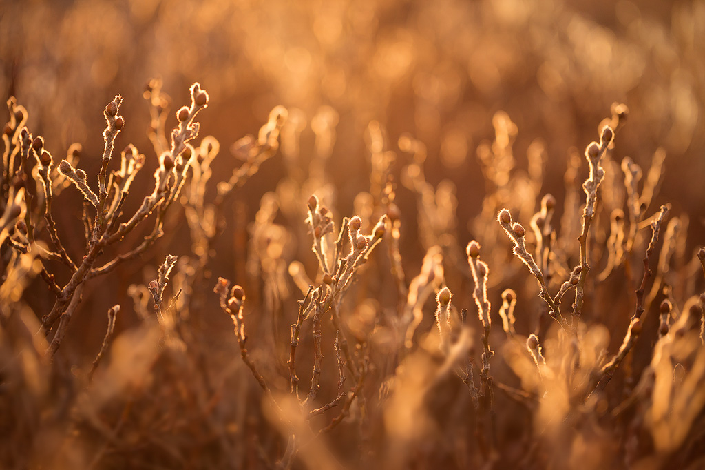 Warm light shines through a bareplant in winter in Iceland.