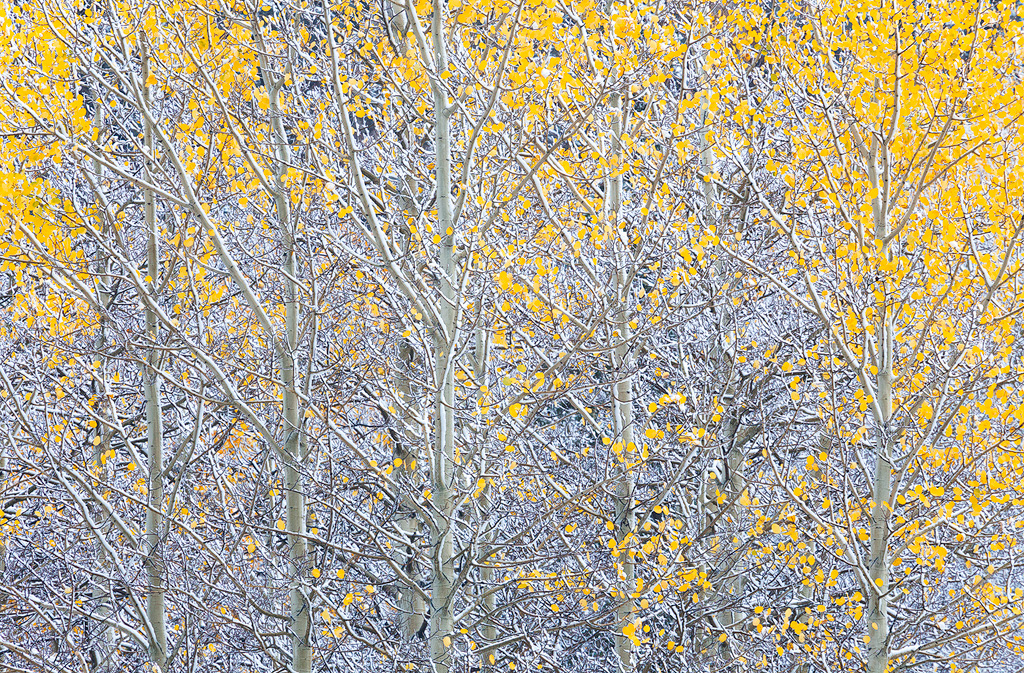 The last few leaves cling to an aspen tree in Colorado.