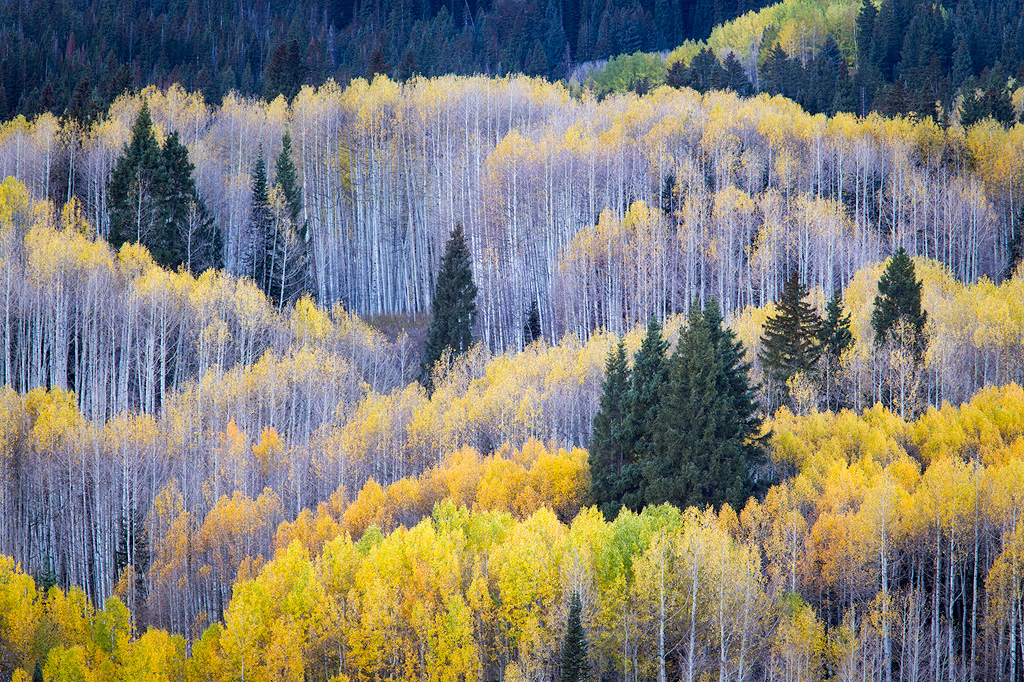 Layers of trees on a hillside in Colorado