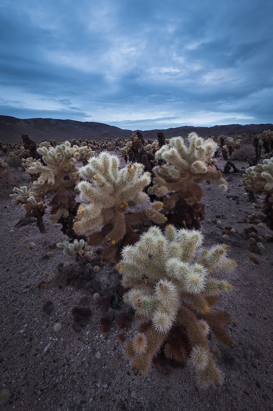 The Cholla Cactus Garden during a stormy sunrise.