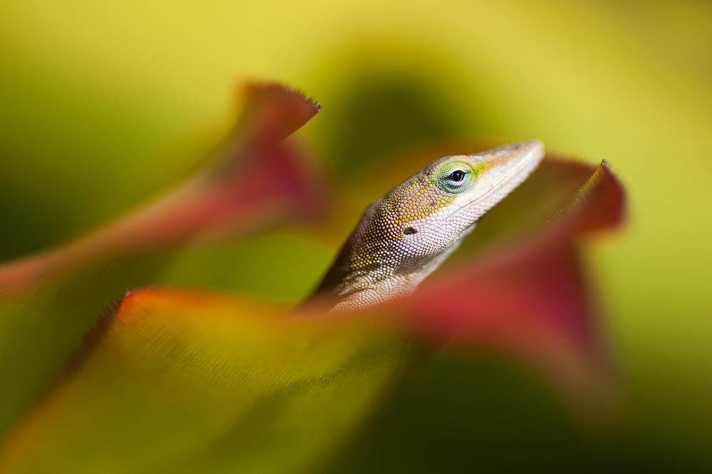 Anole lizard at the McBryde-Allerton Tropical Garden complex, Kauai
