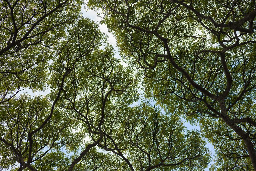 Tree canopy, Kauai
