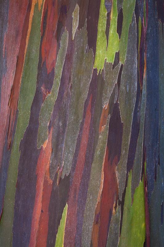 Eucalyptus tree bark abstract, Kauai