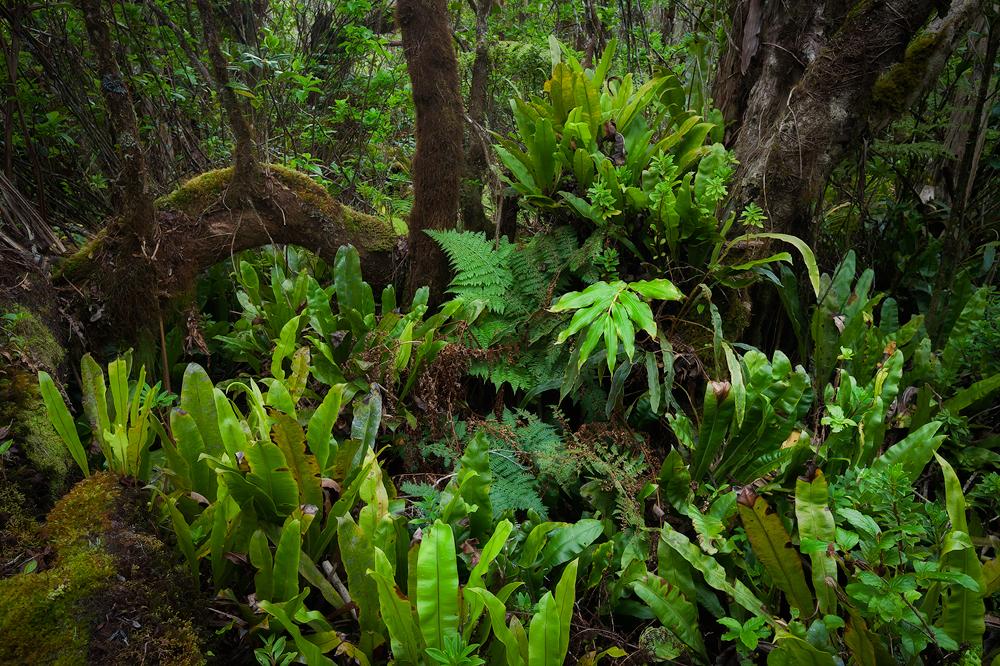 Off the Pihea Trail in Kauai