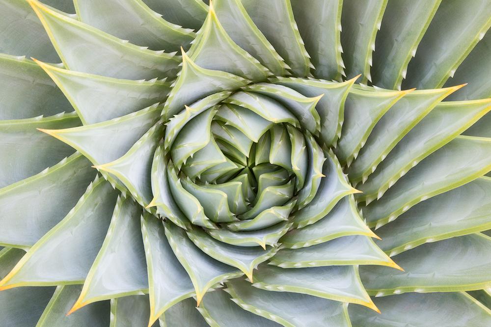 5. Spiral Aloe