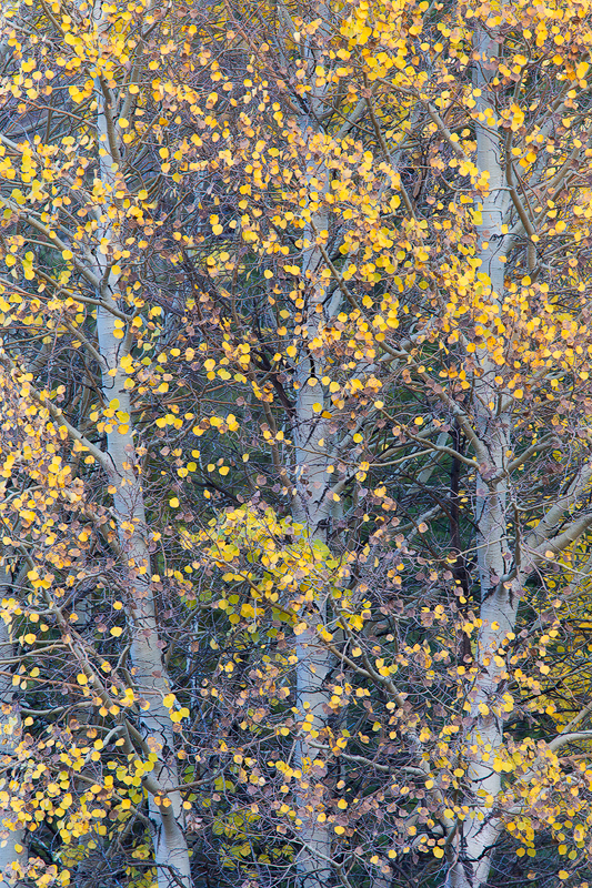 8. Autumn trees, Eastern Sierra, California