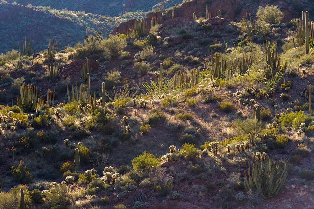 11. Cactus Medley, Organ Pipe National Monument