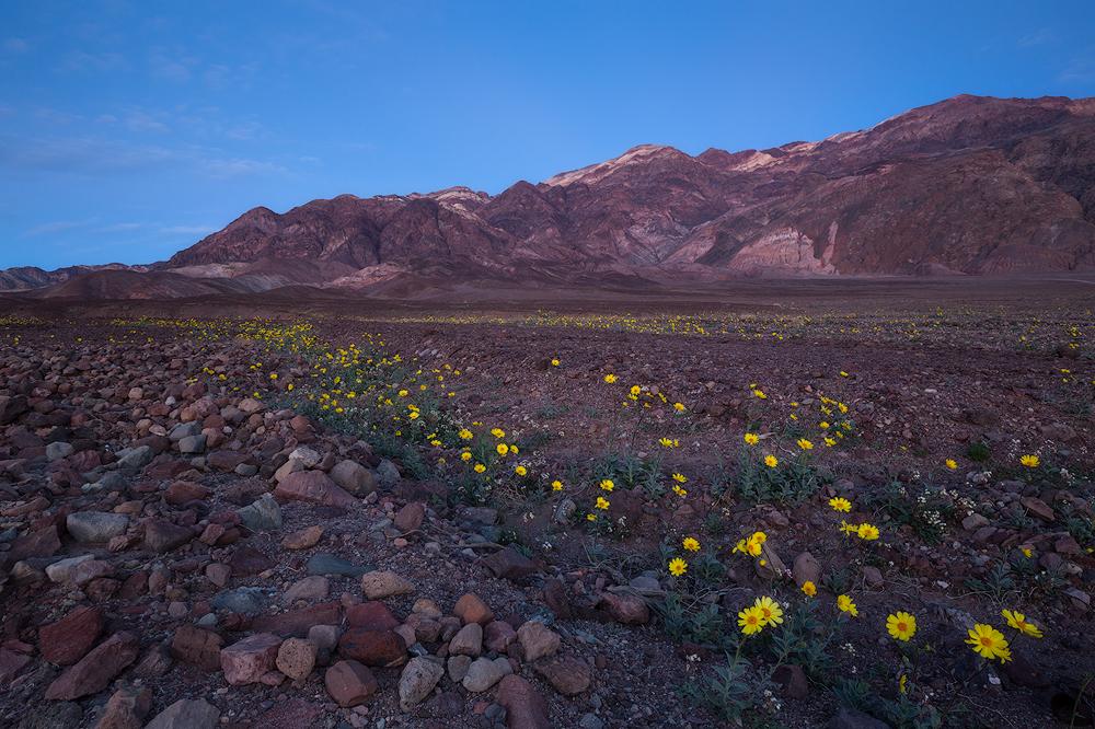 Desert Gold near Badwater Basin. (c) Sarah Marino